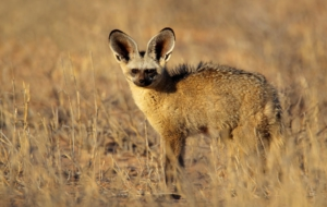 Pictures Of Bat Eared Fox