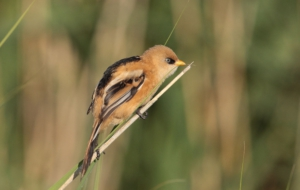 Pictures Of Bearded Reedling