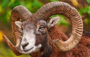 Pictures Of Bighorn Sheep