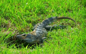 Pictures Of Black Spiny Tailed Iguana