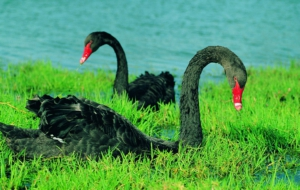 Pictures Of Black Swan