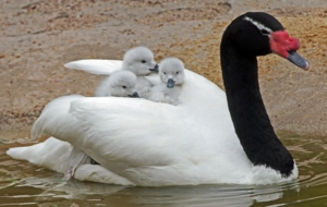Pictures Of Black Necked Swan
