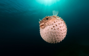 Pictures Of Blowfish