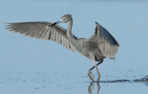 Pictures Of Blue Heron