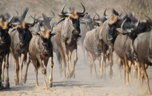 Pictures Of Blue Wildebeest
