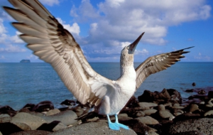 Pictures Of Blue Footed Booby