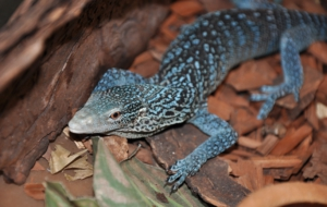 Pictures Of Blue Spotted Tree Monitor