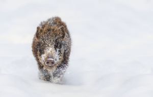 Pictures Of Boar