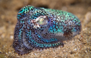 Pictures Of Bobtail Squid