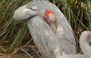 Pictures Of Brolga