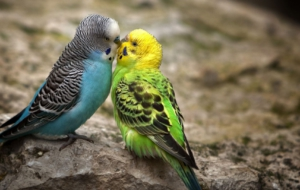 Pictures Of Budgerigar