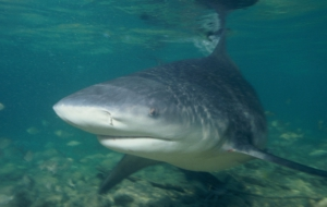 Pictures Of Bull Shark