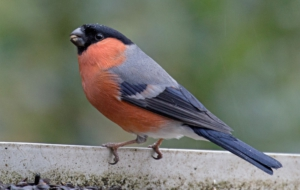 Pictures Of Bullfinch