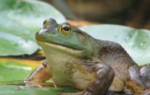 Pictures Of Bullfrog