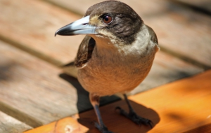 Pictures Of Butcherbird