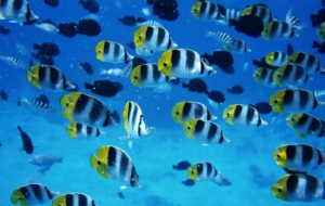 Pictures Of Butterflyfish
