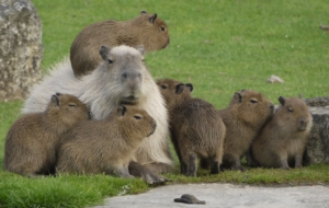 Pictures Of Capybara