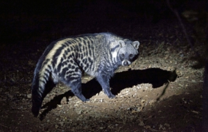 Pictures Of Civet