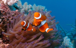 Pictures Of Clownfish