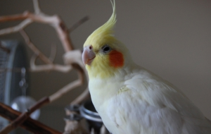 Pictures Of Cockatiel
