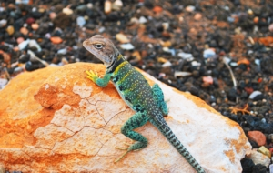 Pictures Of Collared Lizard