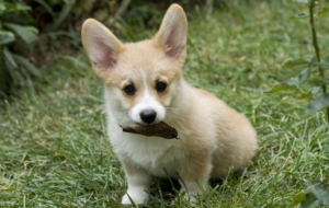 Pictures Of Corgi