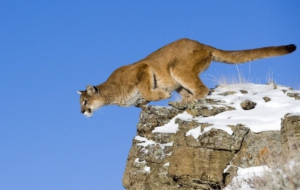 Pictures Of Cougar