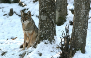 Pictures Of Coyote