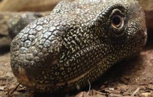 Pictures Of Crocodile Monitor