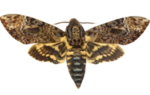 Pictures Of Deaths Head Moth