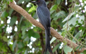 Pictures Of Drongo