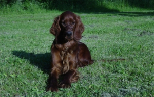 Pictures Of Irish Setter