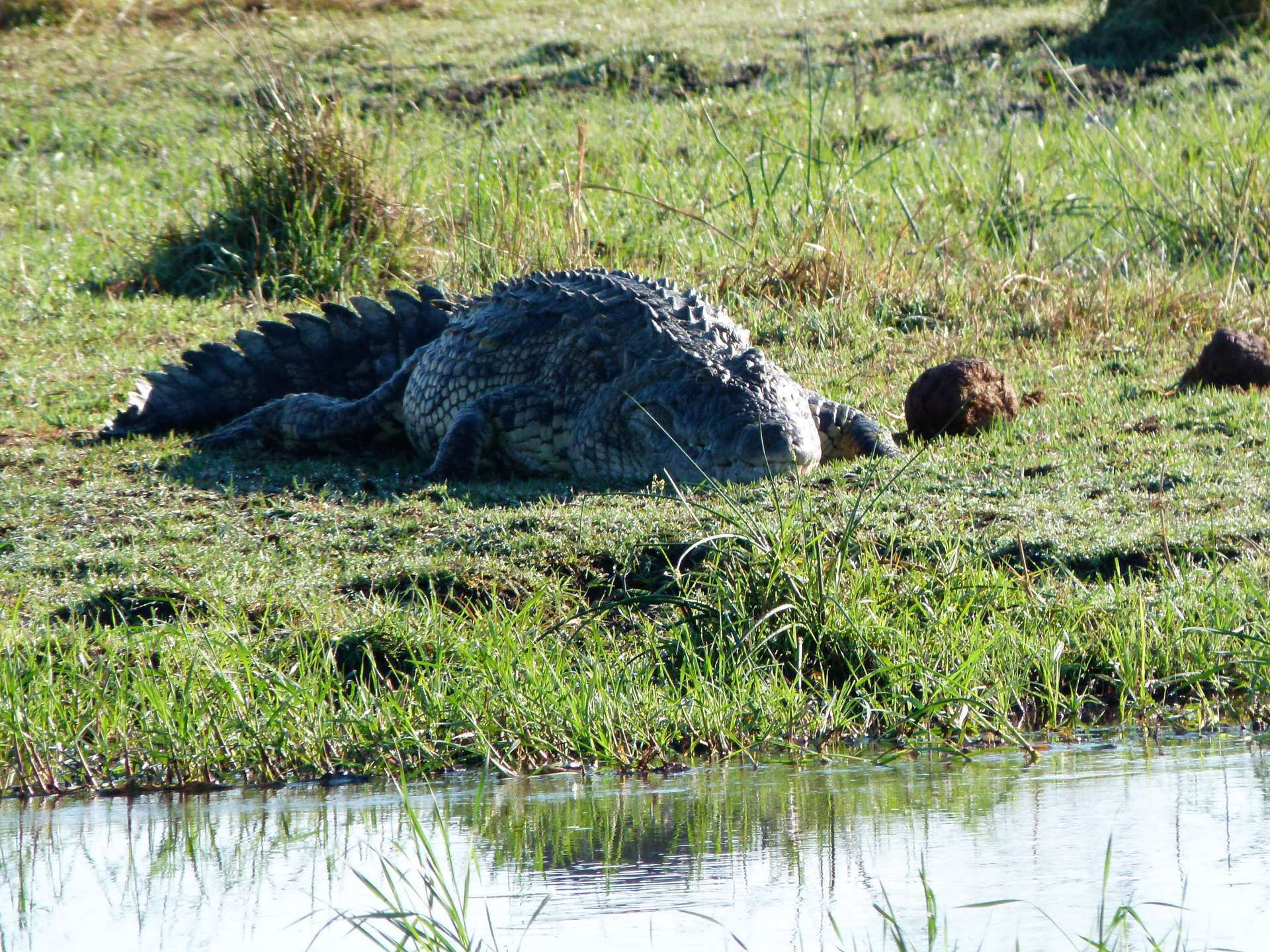 Alligator Botswana Beautiful