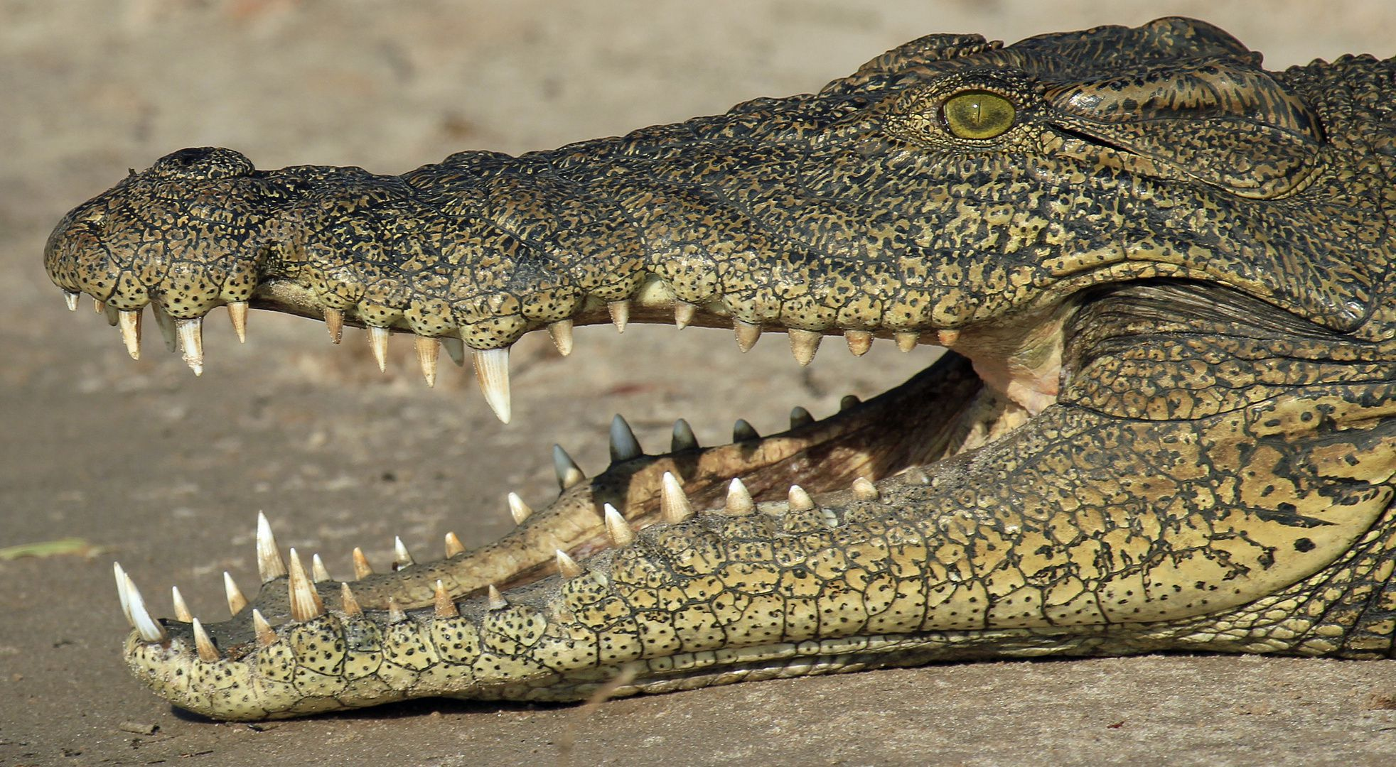 Alligator Botswana High Quality Wallpapers
