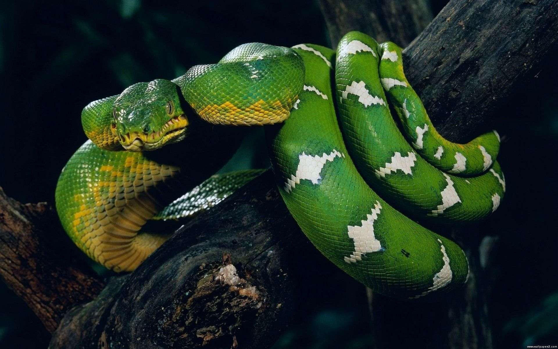 Anaconda HD Background