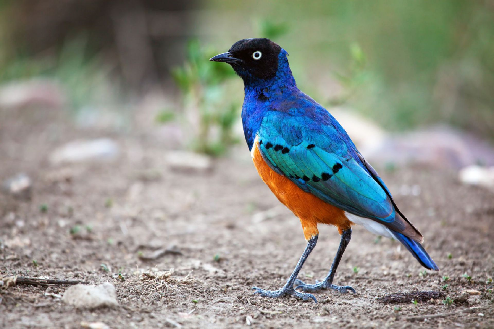 Superb Starling Bird In Tanzania, Africa