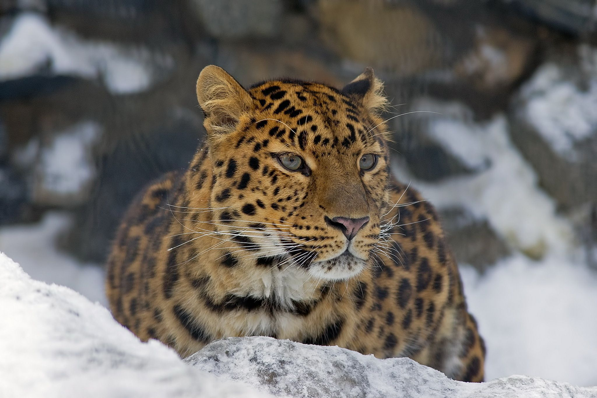 Big Cats Gallery