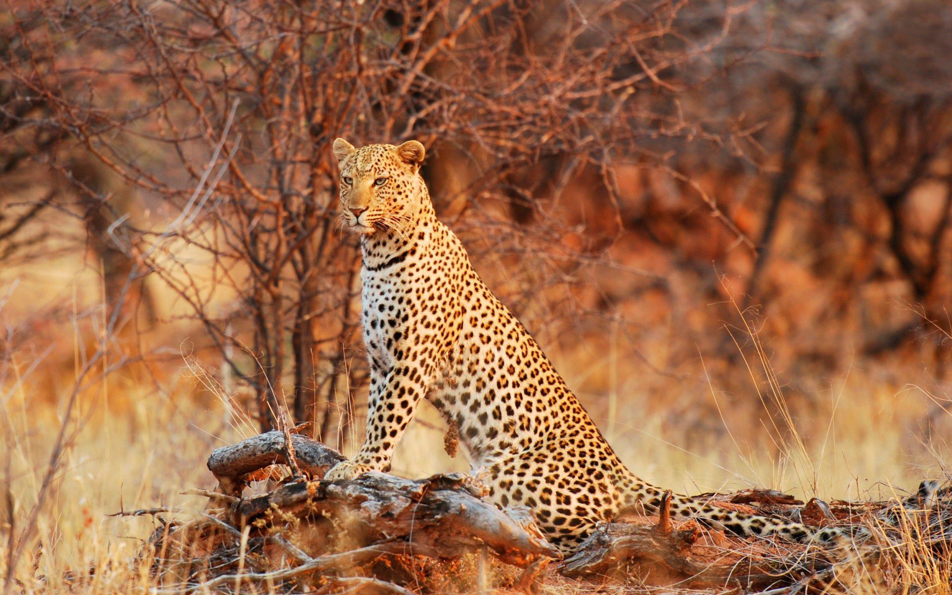 Big Cats High Definition Wallpapers