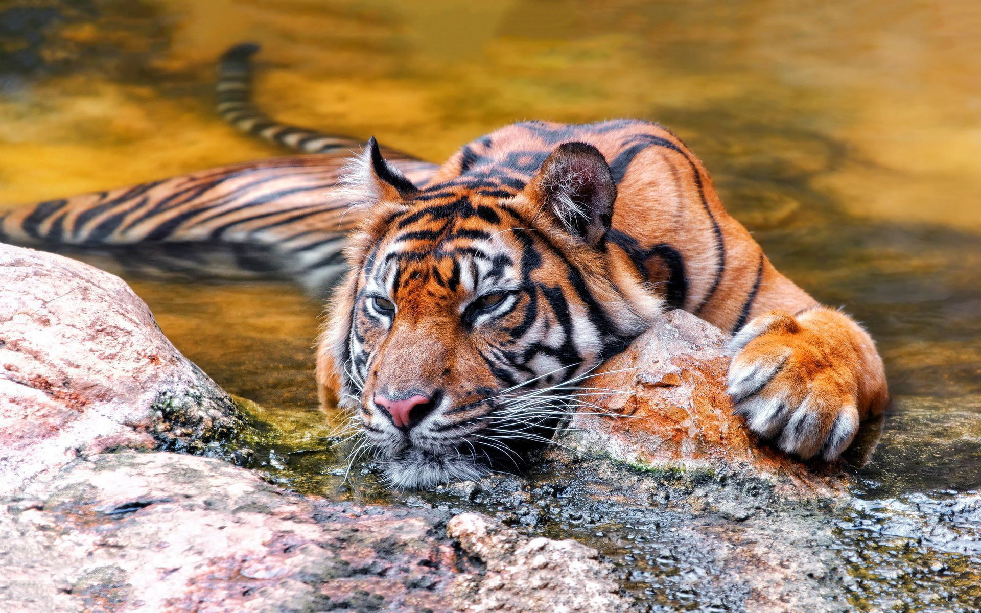 Big Cats High Quality Wallpapers