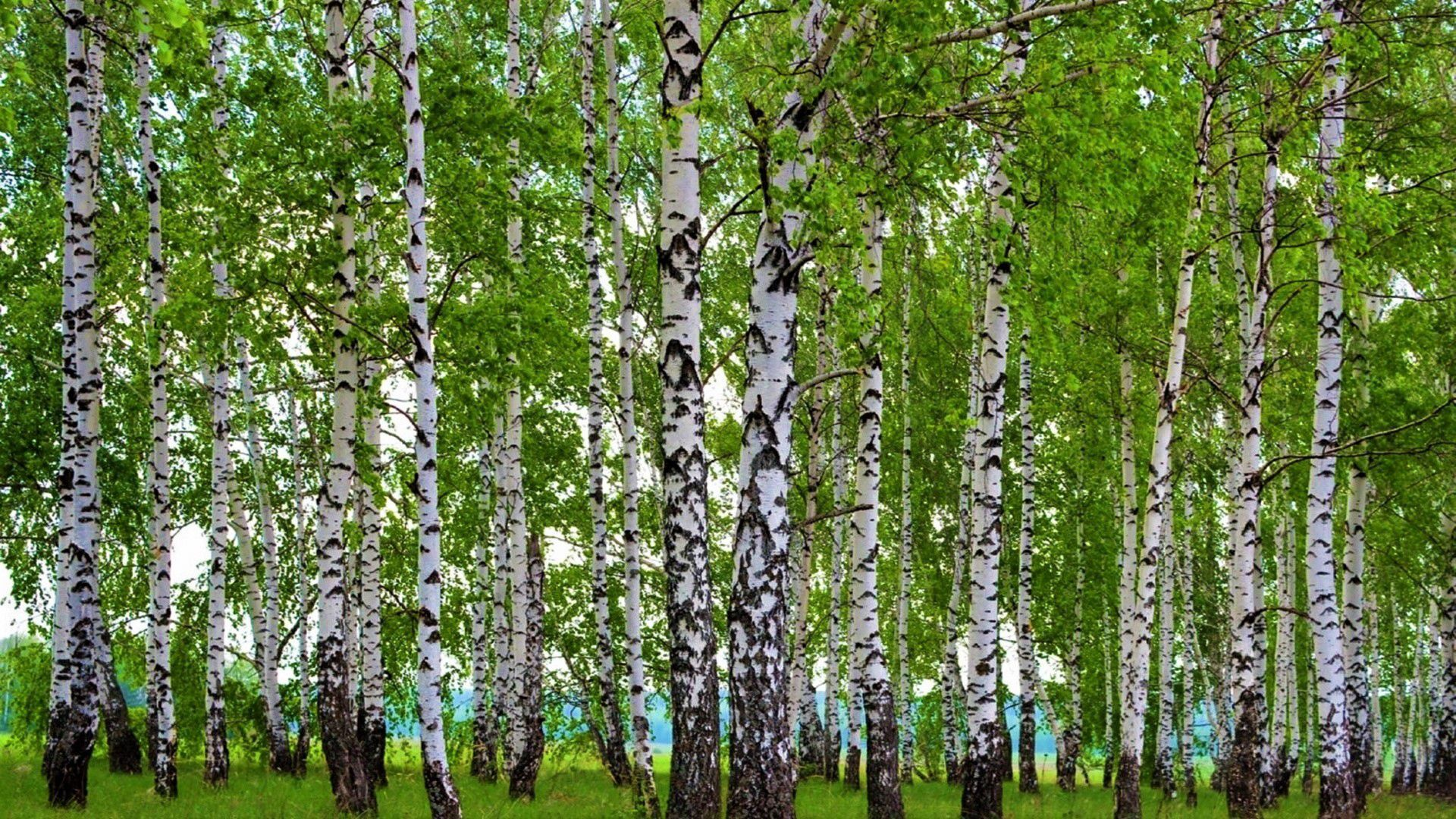 Birch Tree Desktop