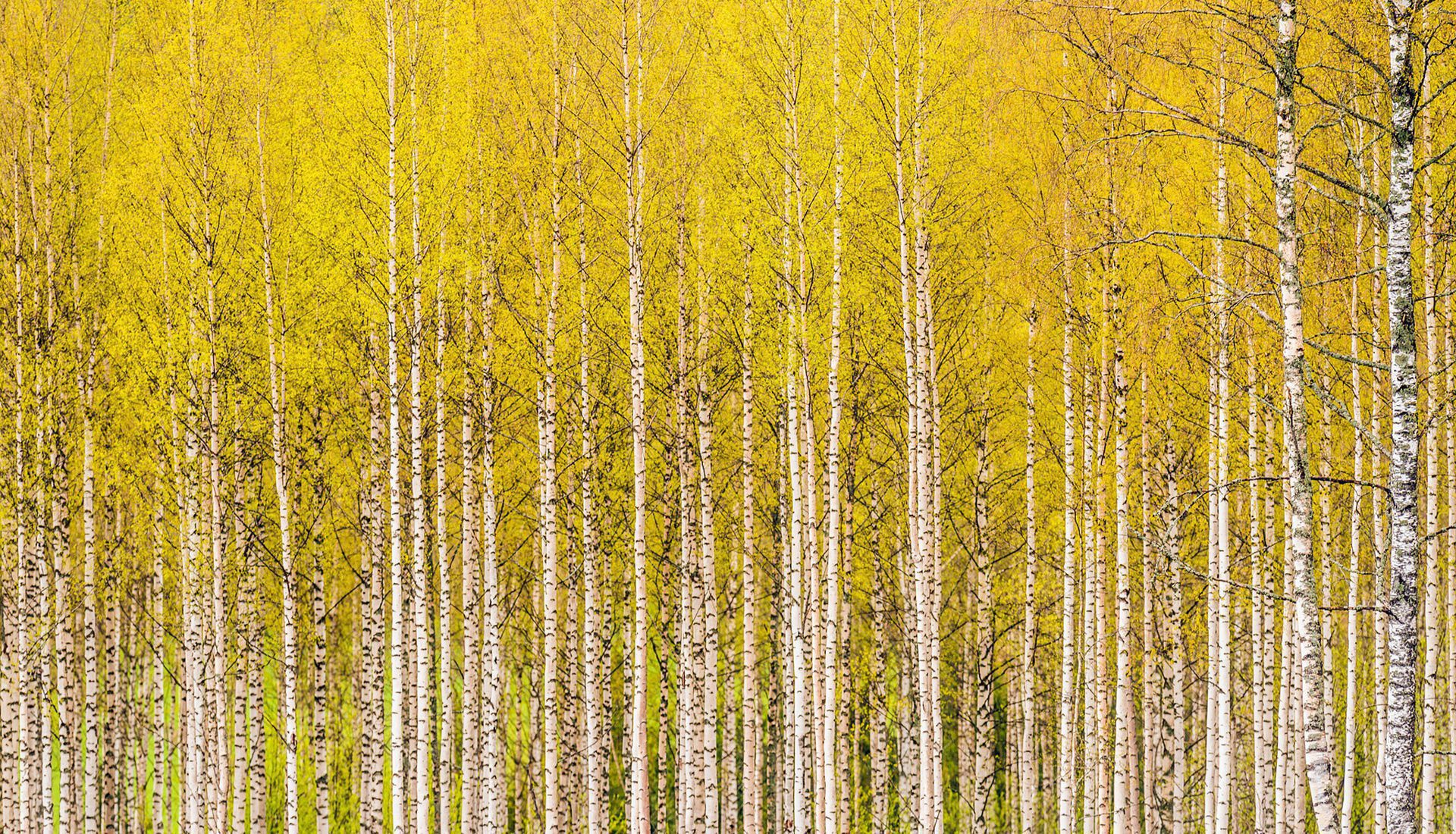 Birch Tree HD Background