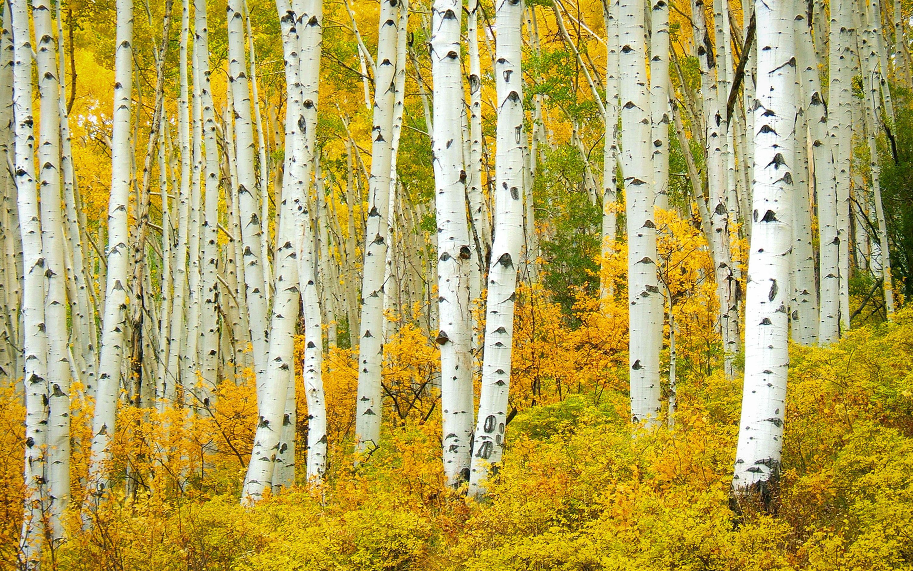 Birch Tree HD Desktop