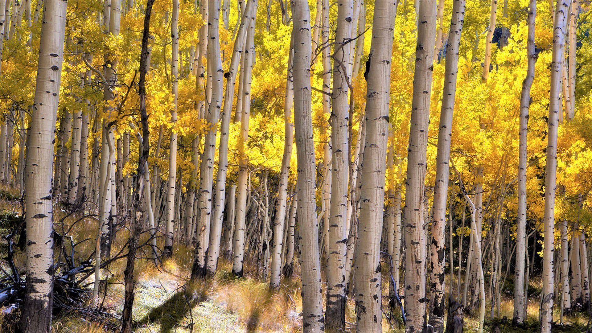 Birch Tree HD