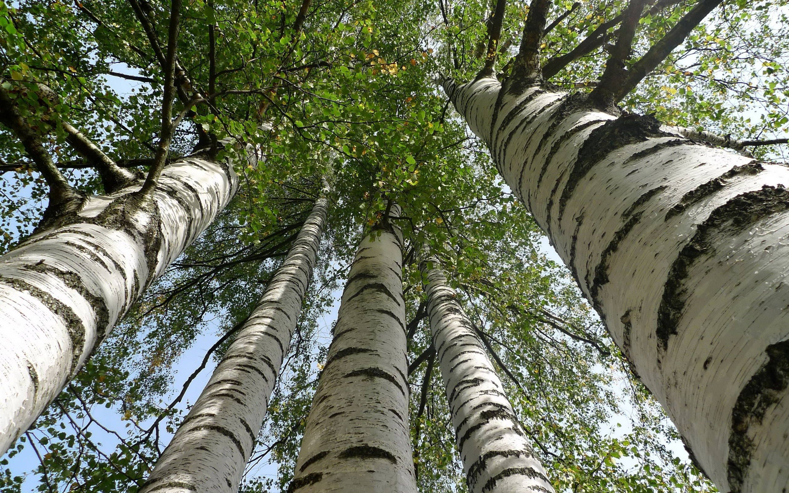 Birch Tree High Definition Wallpapers