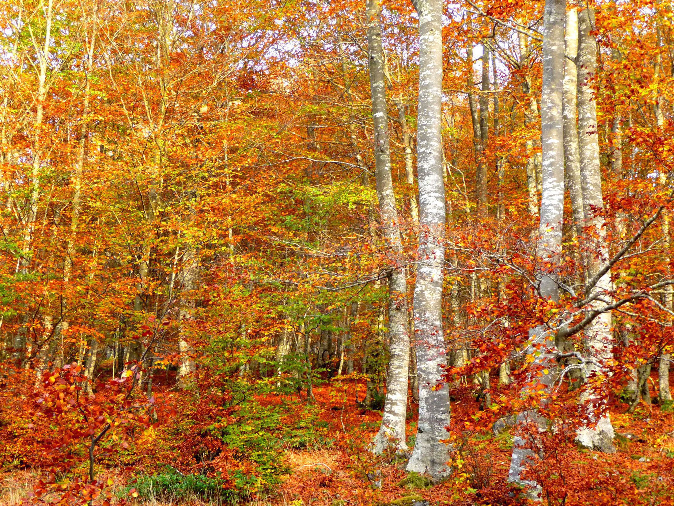 Birch Tree Widescreen