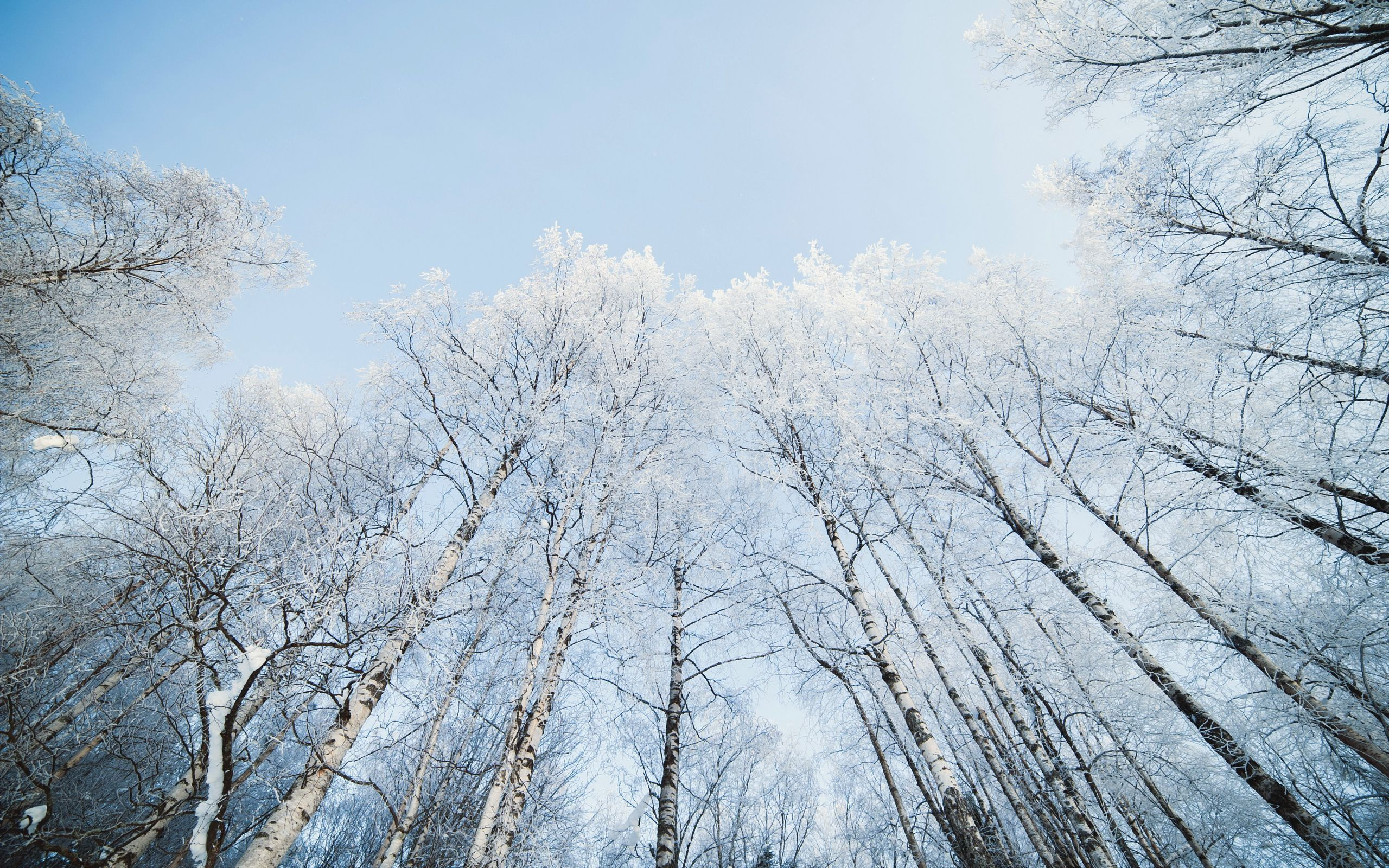 Birch Tree Wallpaper Pack