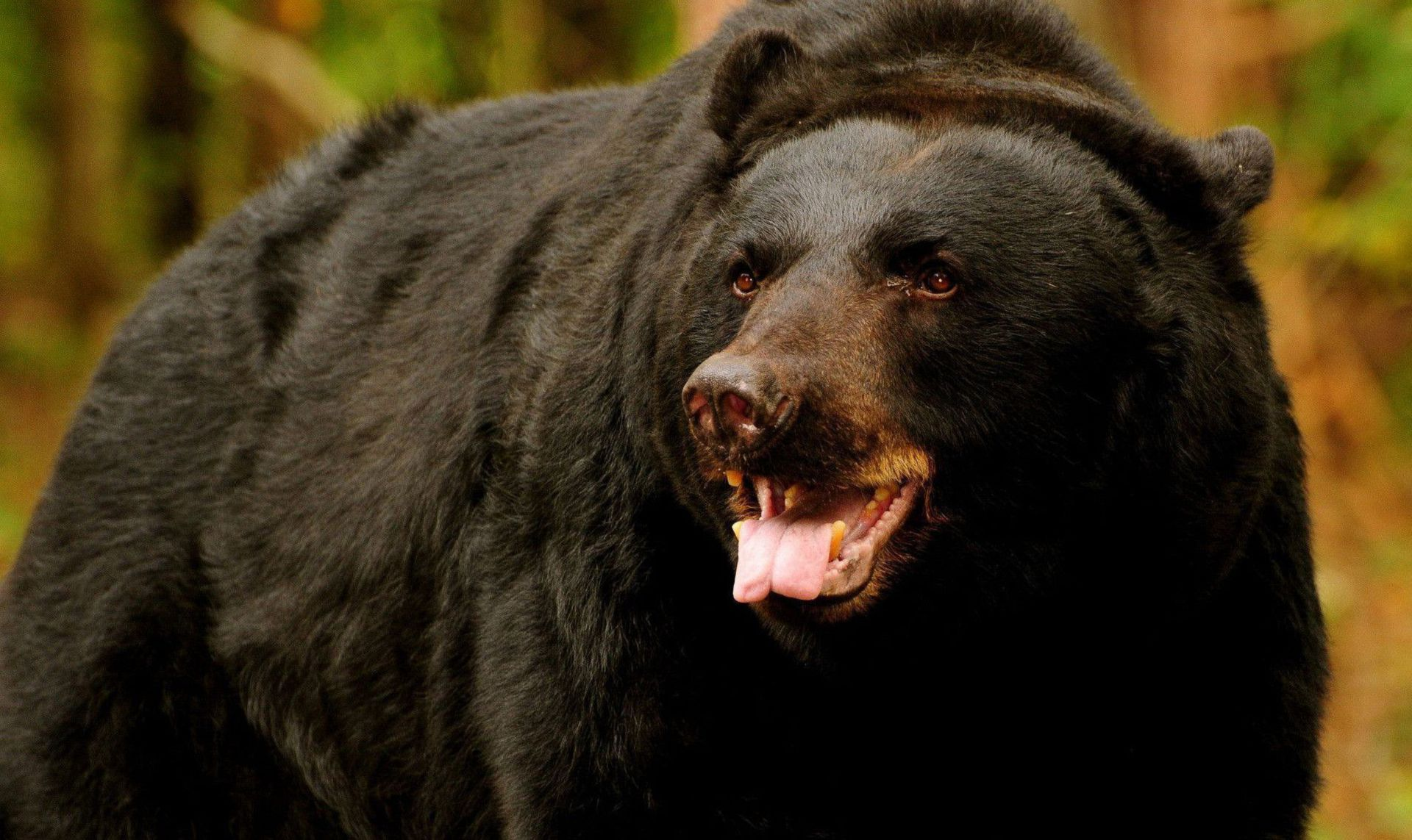 Black Bear Beautiful