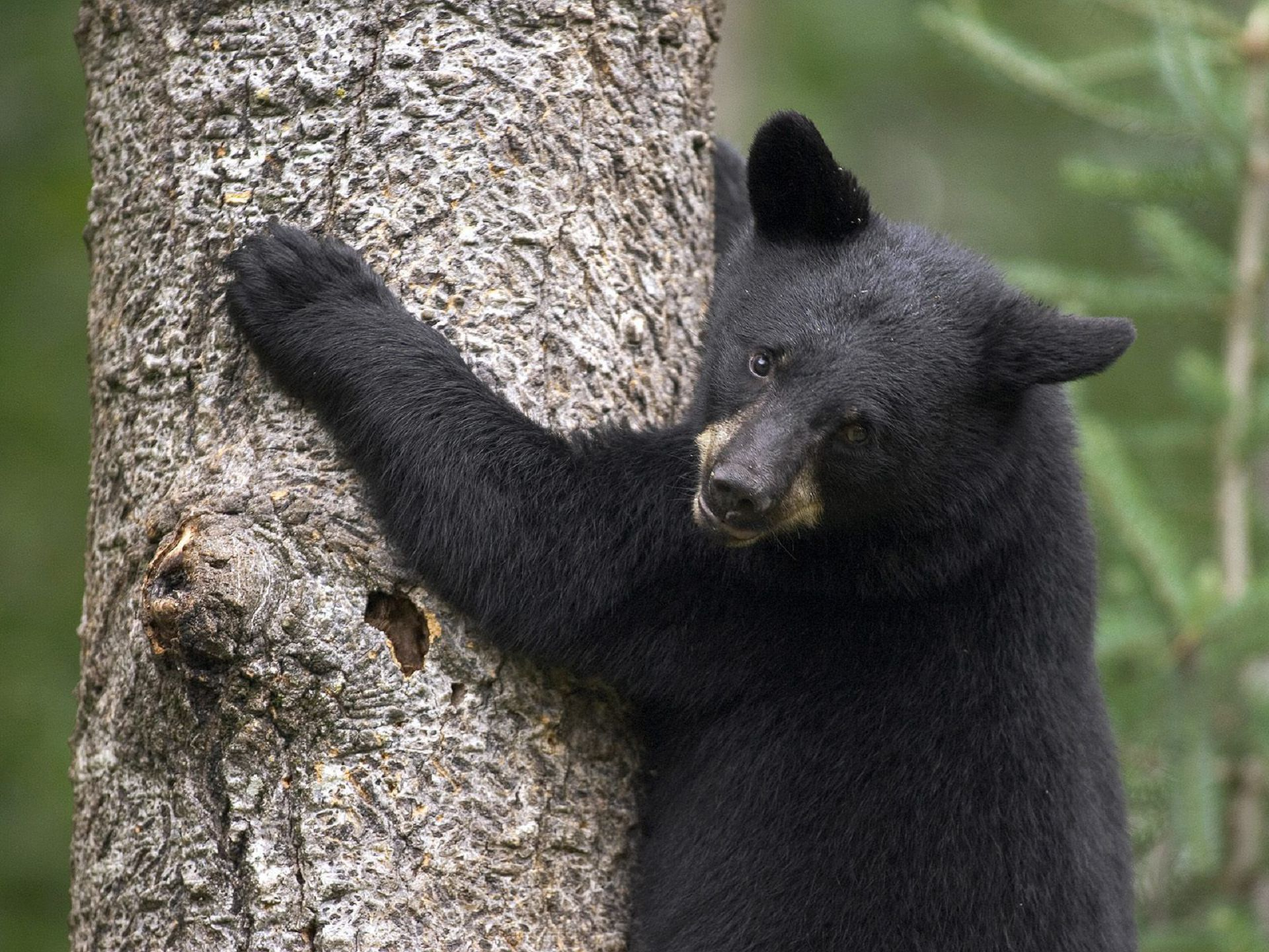 Black Bear High Quality Wallpapers