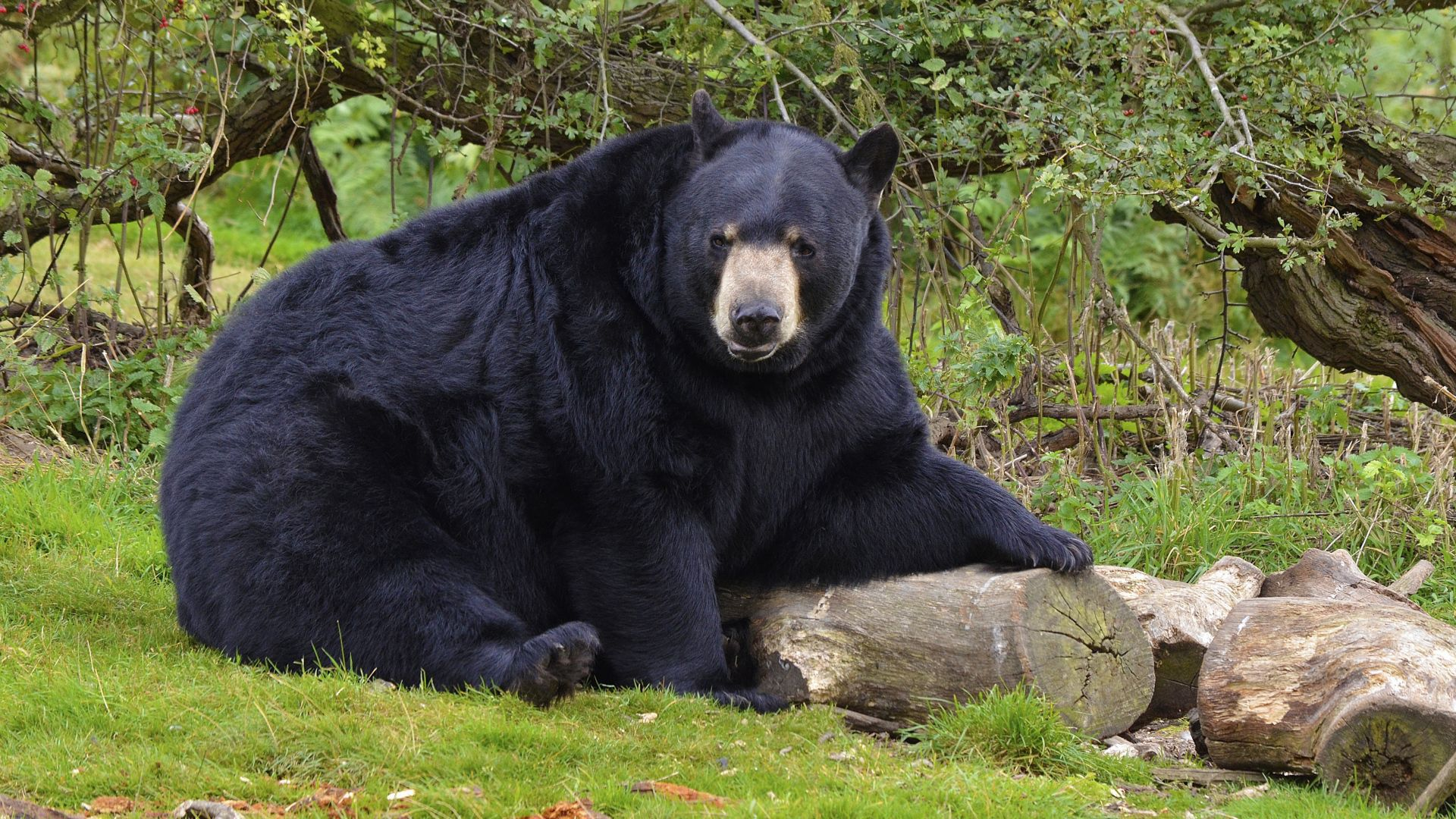 Black Bear Images