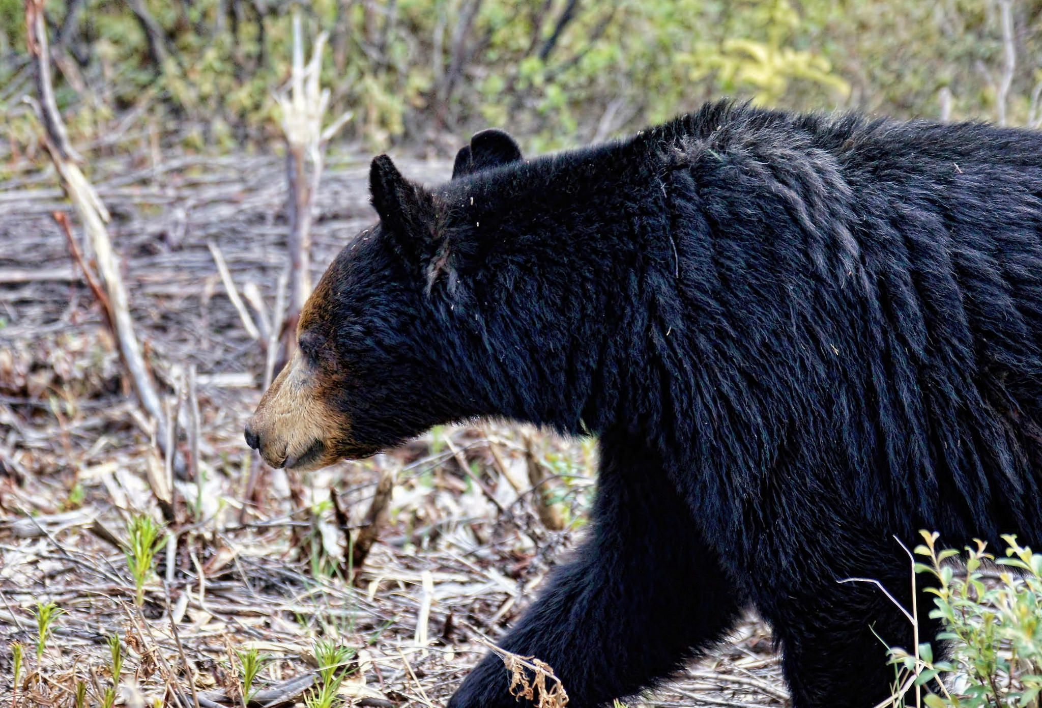 Black Bear Pictures